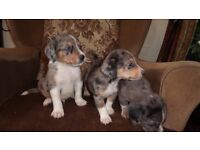 border collie blue merle x blue gsd puppies.