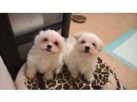 Malshi puppies Maltese/imperial karashishi shih Tzu