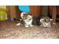 Three beautiful male kittens for sale