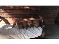 4 female and 2 male Pomeranian puppy's for sale £650 each