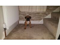 9 week old boxer puppy for sale