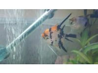 3 for sale angel fish
