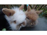 Six baby 3/4 lion 1/4 lop bunnies