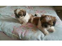 shitzhu puppies