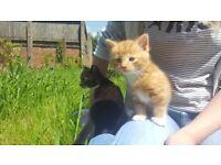 Sweet Kitten, mix Briitish /Norwegian