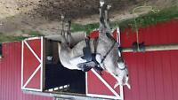 Arabian/quarter horse $3000