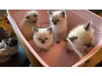 Pure Rag doll kittens. ALL SOLD