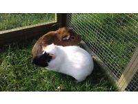 2 guniea pigs needing a new home