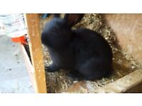 1 male rabbit for sale ready to leave
