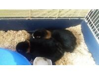 2 house rabbits including cage and all accessories