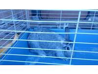 Chinchilla buck rabbit for sale