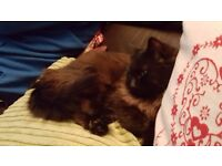 Black Domestic Long Haired Cat missing from Denbighshire