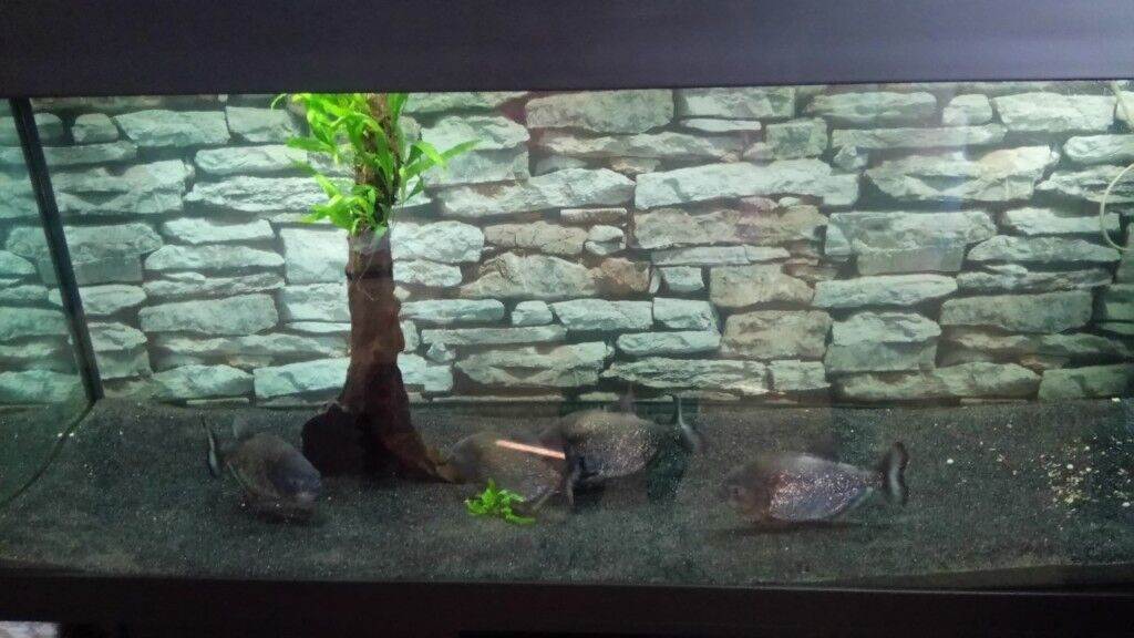 4 Large Red Bellied Piranha Fish | in Leicester, Leicestershire | Gumtree