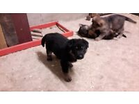 8 kc regestered German shepherd pups