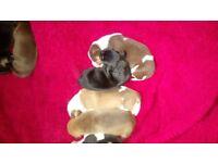 Champagne blue x rottie mastiff puppies