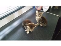 2 Beautiful tabby and white kittens
