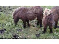 FABABELA PONY BEAUTIFUL WEE MALE THESE BREED STAY VERY SMALL