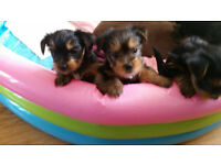 2 Puppy Yorkies sale
