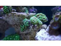 3 lps marine reef corals frogspawn hammer and brain corals