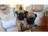 Beautiful shihtzu X Jackrussle pups