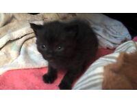 2 8week old kittens
