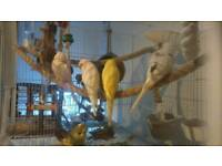 new budgies for sale