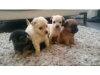 Adorable Chihuahua cross pups