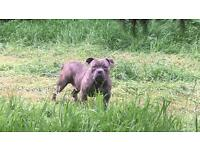 MALE AMERICAN BULLY for sale