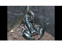 Black Asian Forrest scorpion. Great eater and shedder.