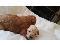 Minature poodle pups