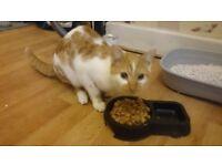 Ginger/white kitten