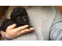 Tiny Black Toy Poodle Puppies