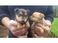 Pomeranian cross chihuahua for sale