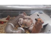 Baby hamsters looking for a good home