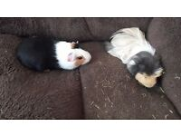 2 adult male guinea pigs with hutch