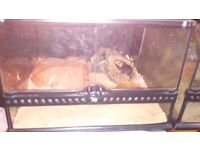 Corn Snake for Sale with Tank and Heat mat £90