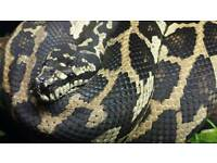 Adult Female Carpet Python