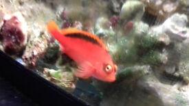red hawkfish.