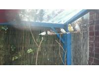 Canaries and zebra finches