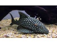 L330 Full Spot Watermelon pleco 15cm