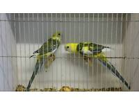 Pied rosella pair for sale