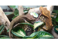 crested gecko x 2 with natural Vivarium