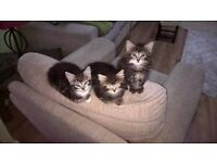 ALL x3 Gorgeous fluffy Tabby Kittens have now forever loving homes!!! No longer available!