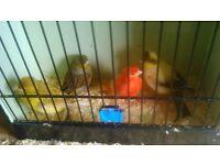 3 budgie 4 canarys for sale