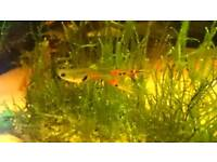 Endler guppy guppies livebearers - all ages