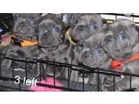 KC registered solid blue French bulldog (All sold)