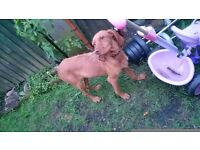 Wirehaired female hungarian vizsla for sale
