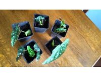 Indoor house plants for sale. Polka Dot Begonia rooted cutting