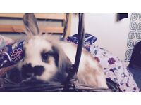 Rabbit for sale white, grey and brown + used cage and hay