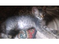 Beutiful and unique female kittens bengal cross Laperm
